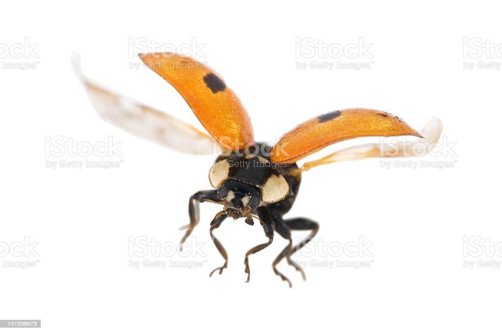 isolated flying ladybug royalty-free stock photo