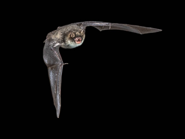 Isolated flying natterers bat on black background picture id958204636?b=1&k=6&m=958204636&s=612x612&w=0&h=hrhahzhdniatbrt1 gjyetvplxknxhahc3dolw 3xis=