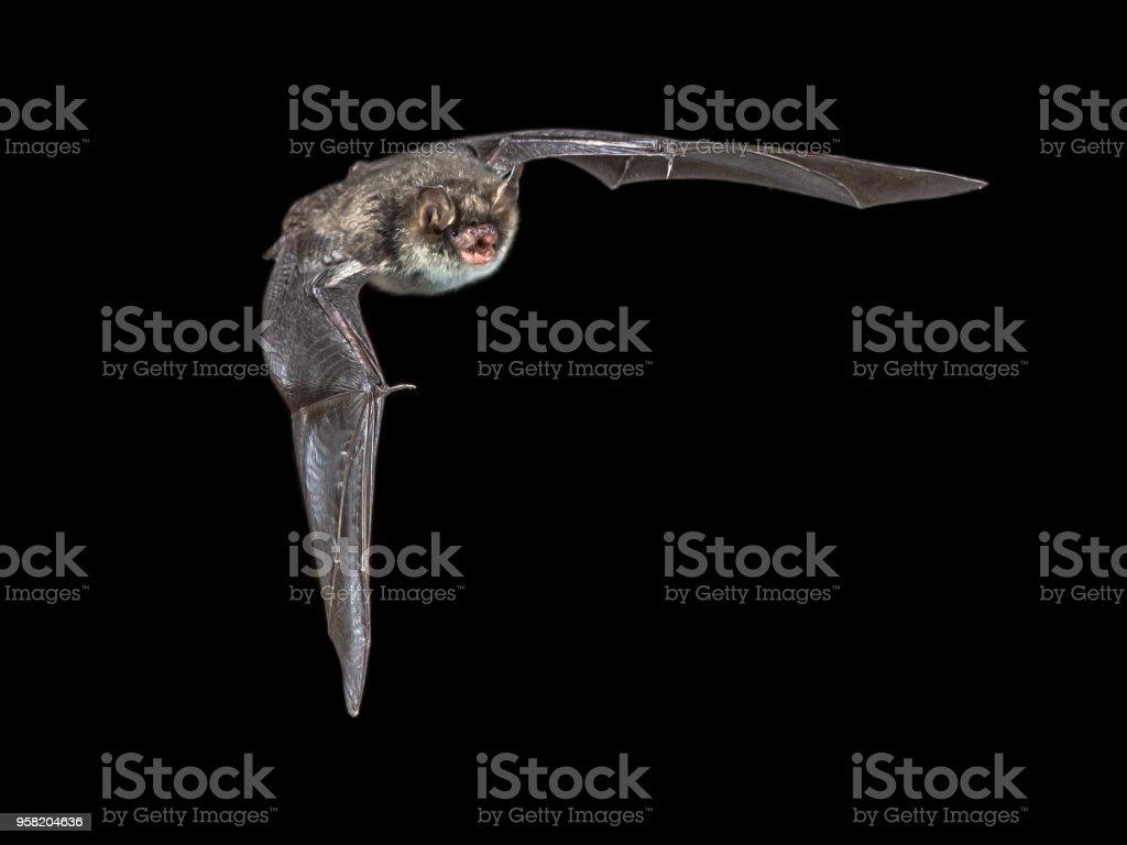 Isolated Flying natterers bat on black background stock photo