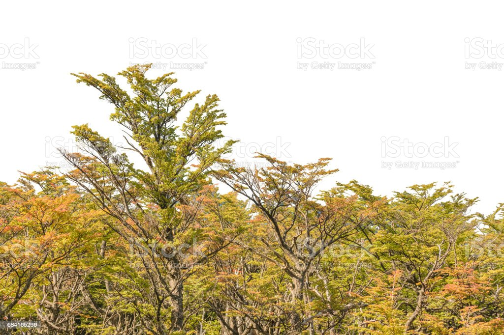 Isolated Forest Tree in white Background royalty-free stock photo