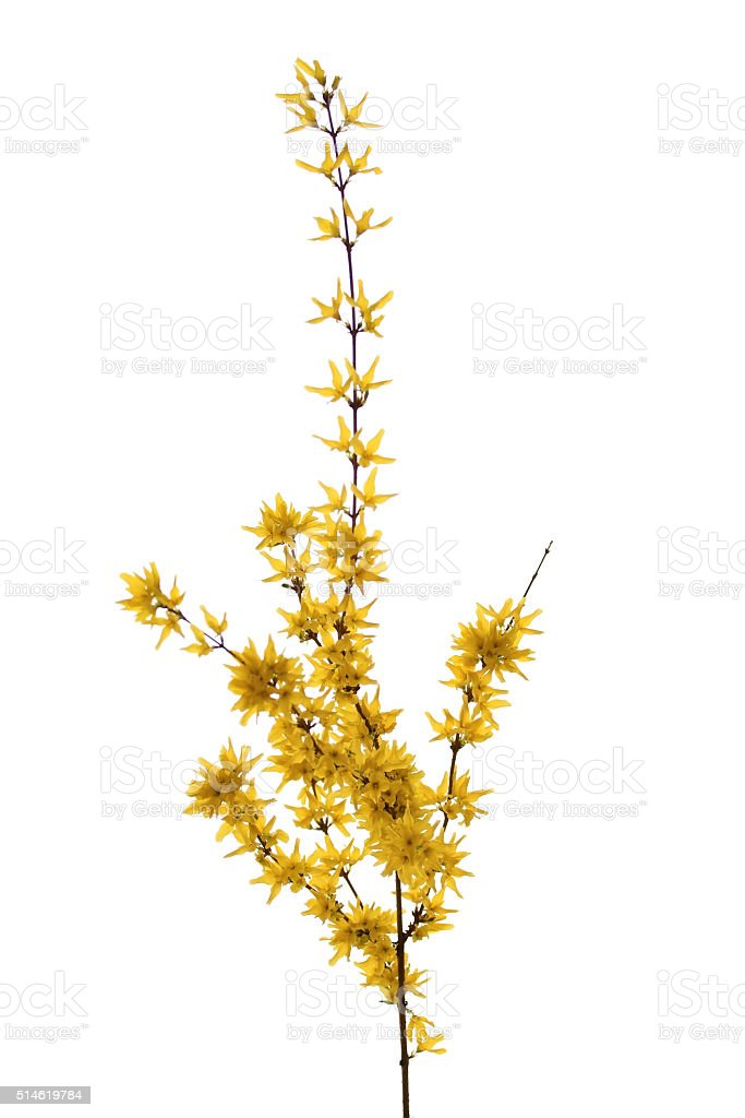 Isolated forsythia branch stock photo
