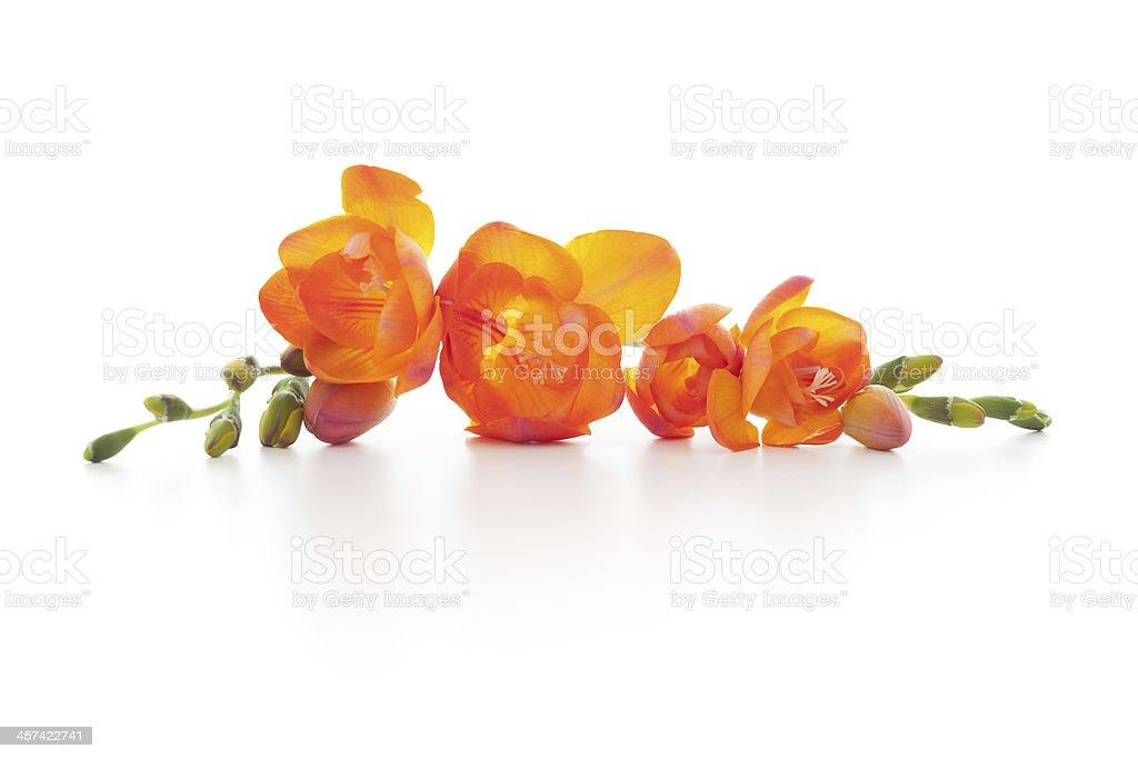 Isolated Freesia flowers stock photo