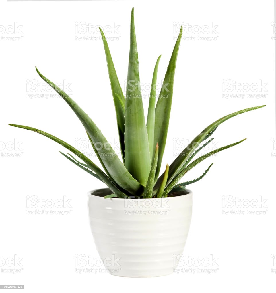Isolated fresh Aloe vera plant in a flowerpot stock photo