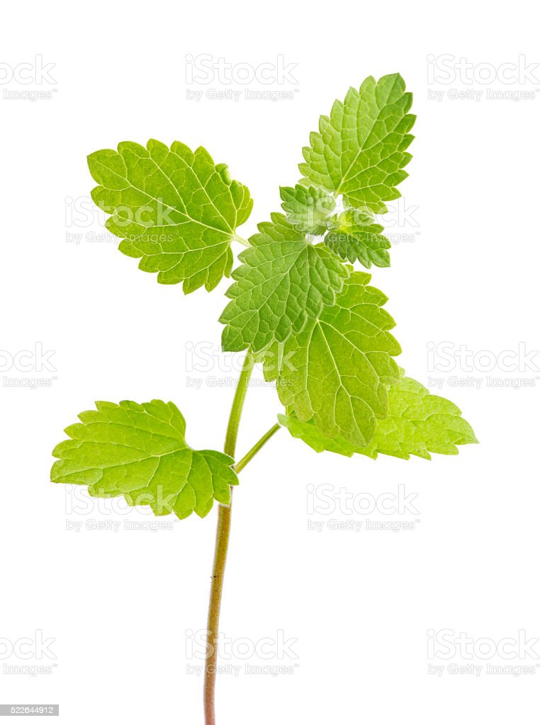 isolated fresh spearmint green leaves stock photo