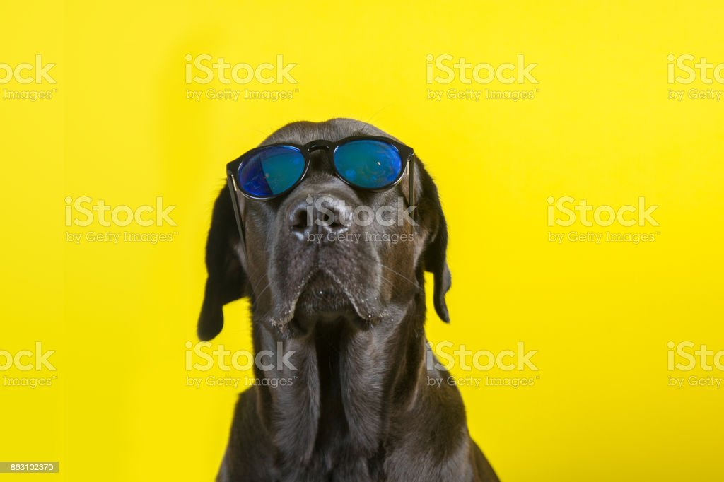 Isolated funny and cute young black labrador wearing sunglasses looking at camera on yellow background stock photo