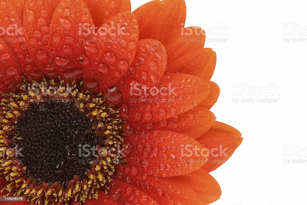isolated gerbera flower royalty-free stock photo