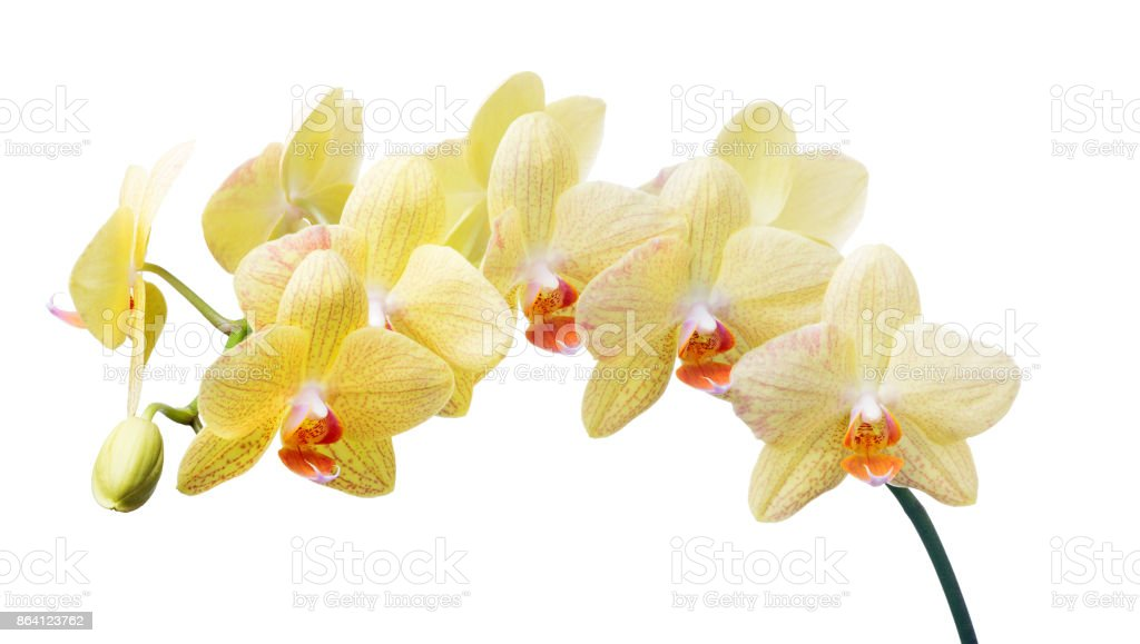 isolated gold orchid flowers with red dots royalty-free stock photo