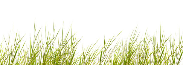 isolated grass blades on white background - filo d'erba foto e immagini stock