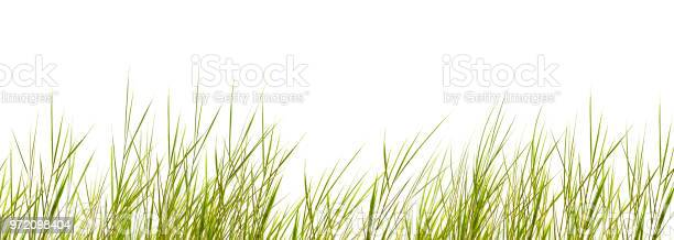 Photo of isolated grass blades on white background