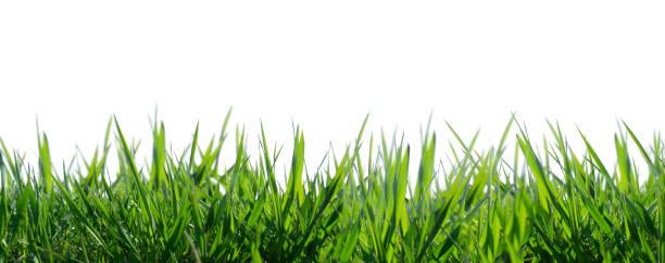 grama isolada no fundo branco - gramado terra cultivada - fotografias e filmes do acervo
