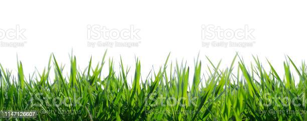 Photo of isolated grass on white background