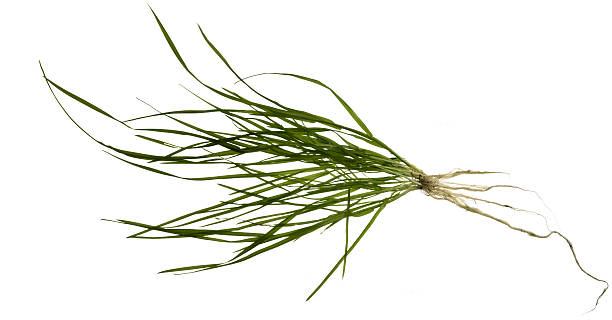 isolated grass plant complete grass plant including roots in white back root hair stock pictures, royalty-free photos & images