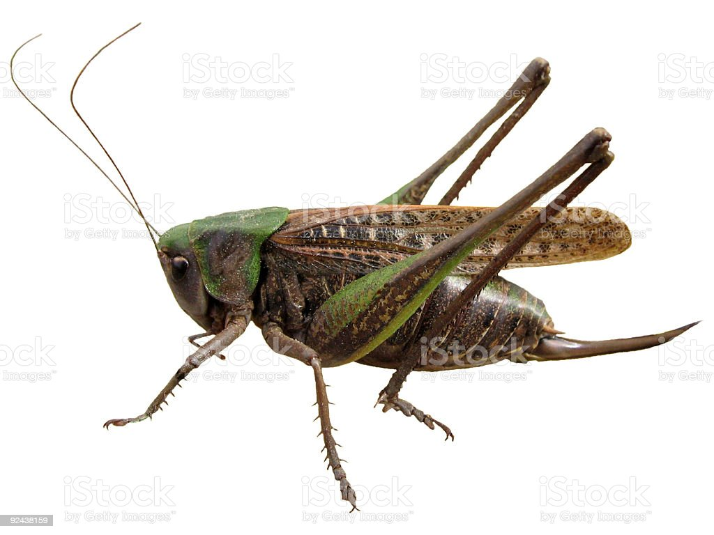 Isolated grasshopper royalty-free stock photo