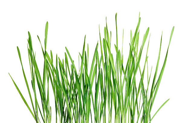 Isolated green grass pattern on white background - corn shoots stock photo