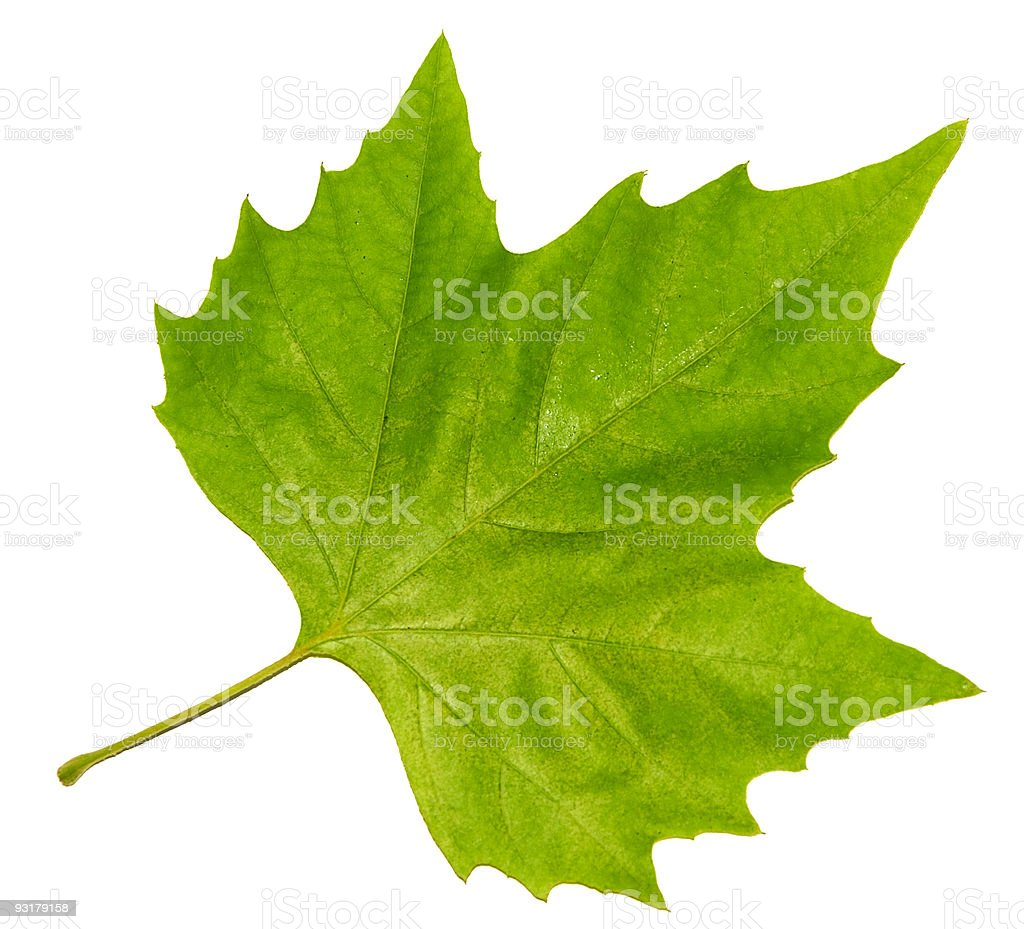 Isolated green maple leaf on white background stock photo