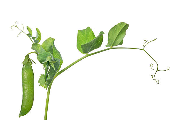 isolated green pea on stem stock photo