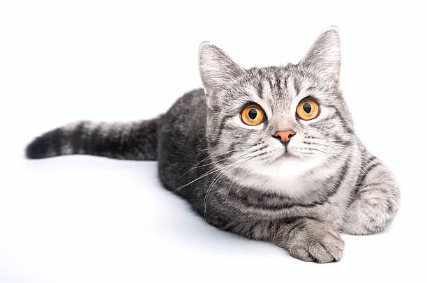 Isolated grey cat stock photo