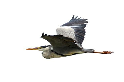 grey heron in flight isolated over white background ( Ardea cinerea )