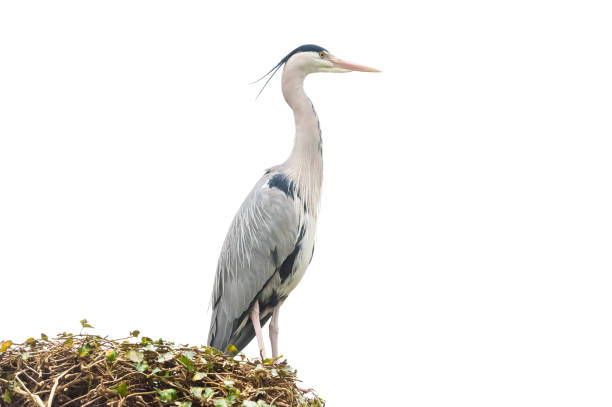isolated grey heron stock photo