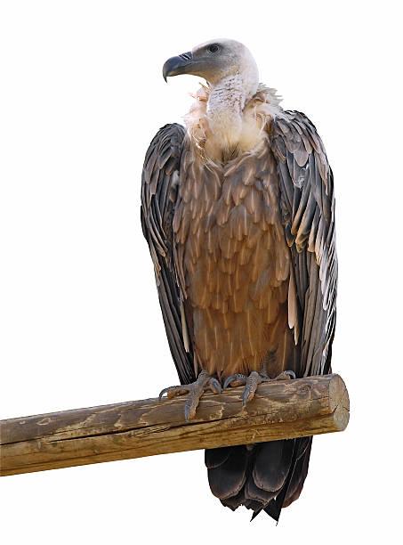 isolated griffon vulture on branch - aas eten stockfoto's en -beelden