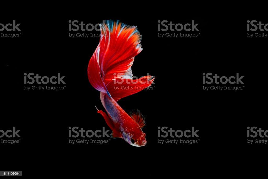 Isolated half moon betta fish on black background stock photo