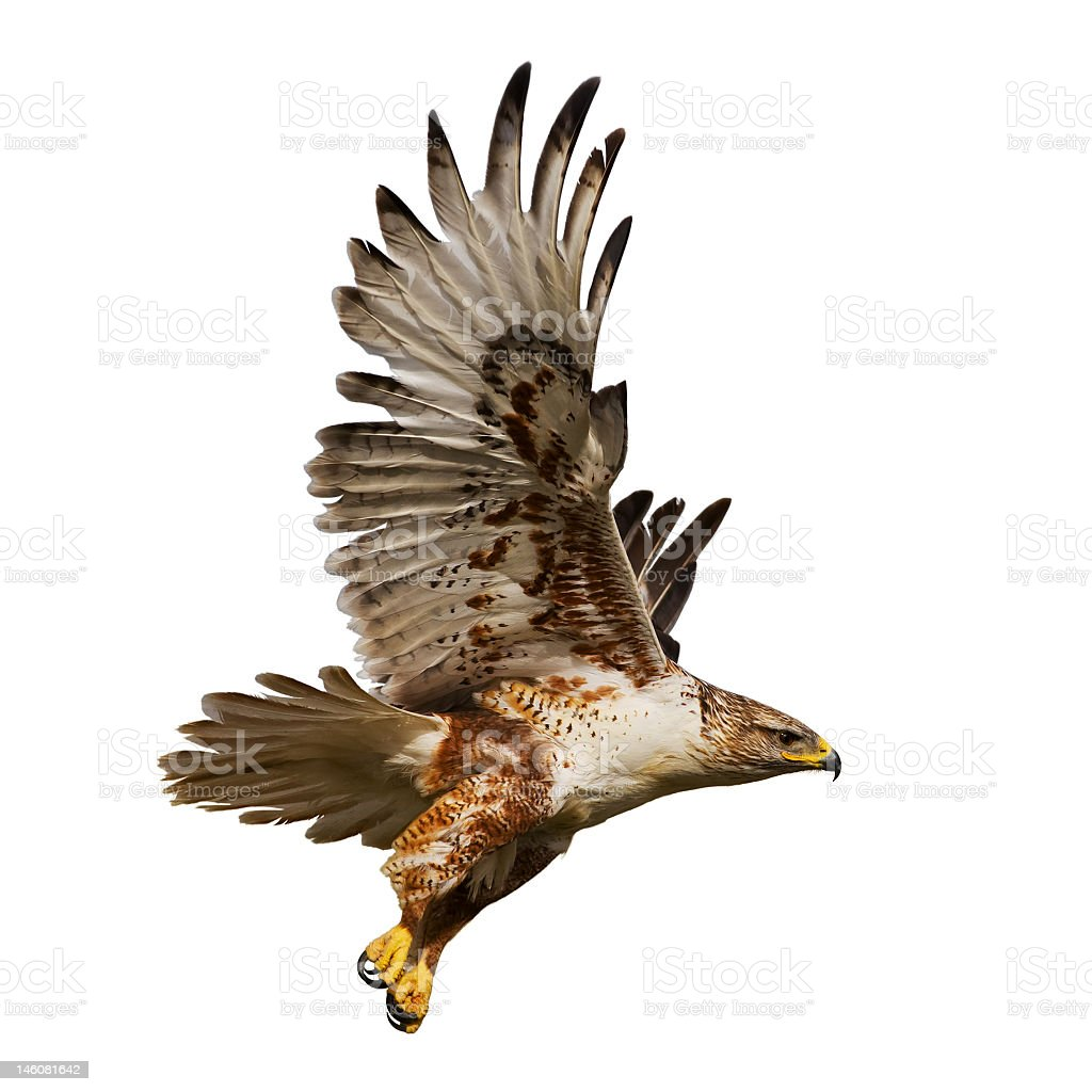 Isolated hawk in flight stock photo