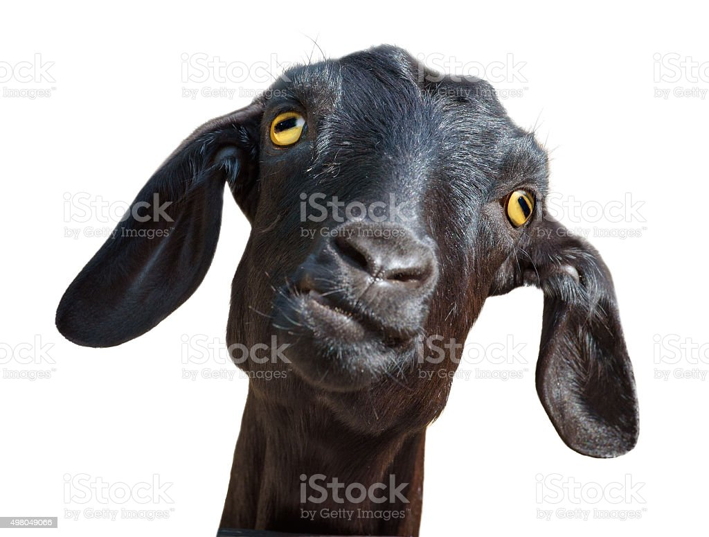 Isolated head of silly looking black goat, with clipping path
