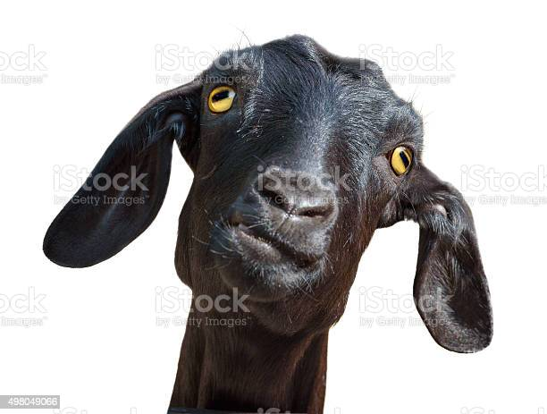 Isolated head of silly looking black goat with clipping path picture id498049066?b=1&k=6&m=498049066&s=612x612&h=4ojiauso2jwfmshhxmr mj3oronqwtqzizhnncbymfu=