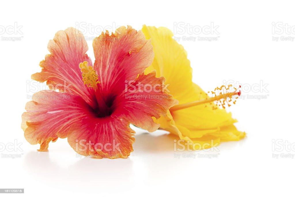 Isolated Hibiscus flowers stock photo