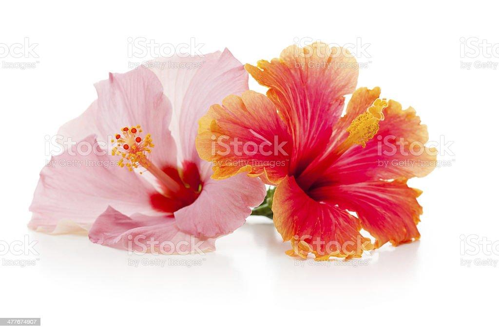 Isolated Hibiscus stock photo
