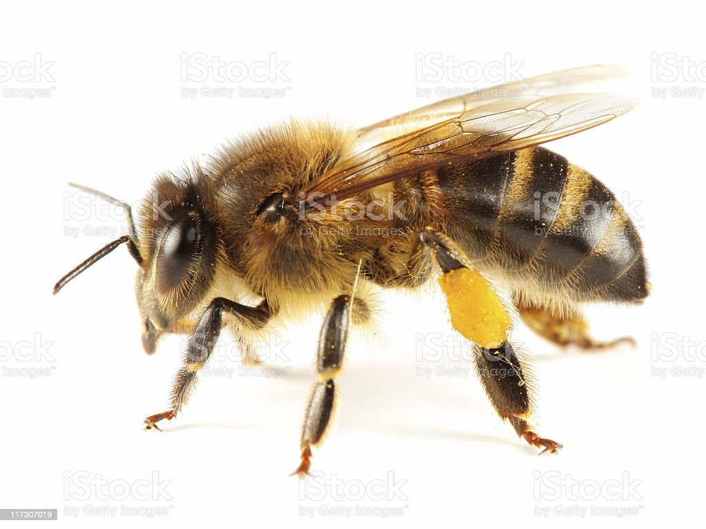 Isolated  honeybee stock photo