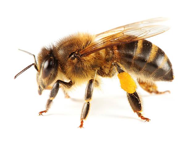 honeybee aislado - bee fotografías e imágenes de stock