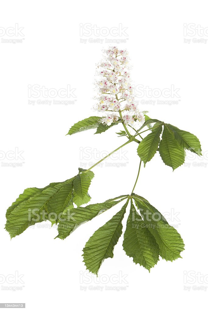 isolated horse chestnut-tree branch with leaves and flowers stock photo