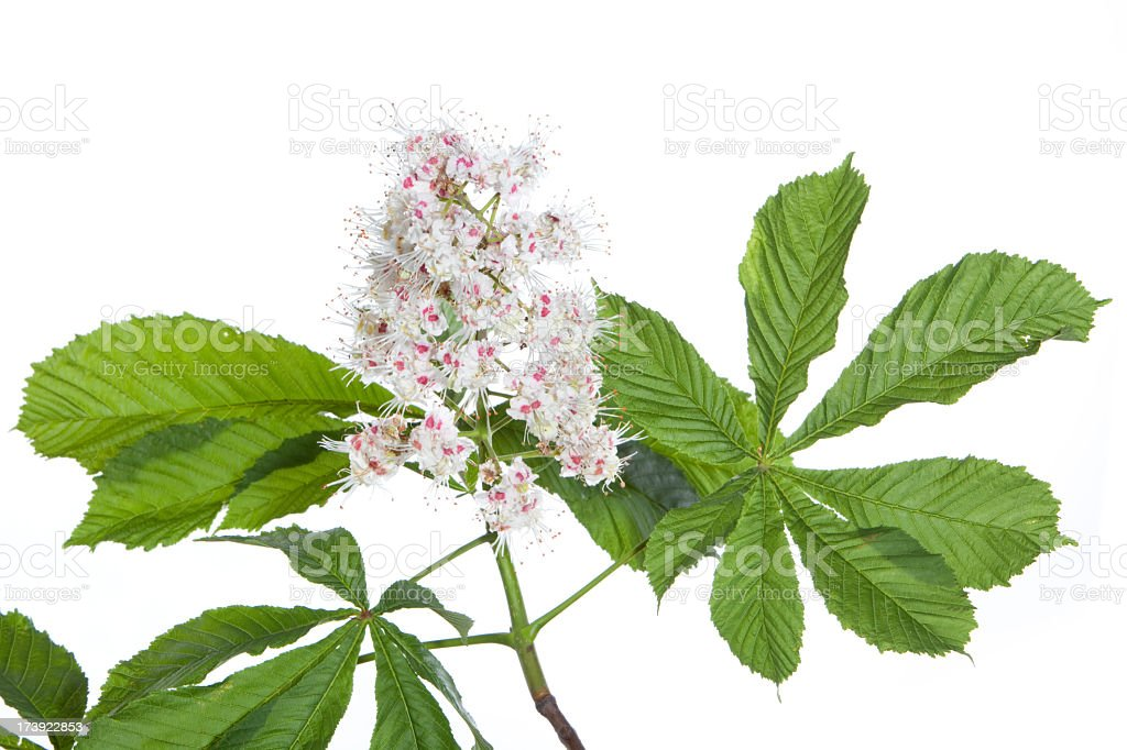 isolated horse chestnut-tree branch with leaves and flowers royalty-free stock photo