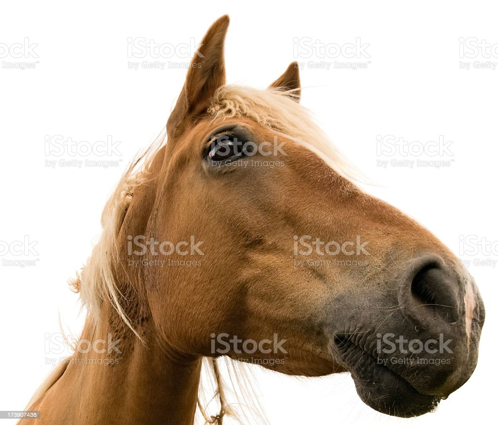 Isolated horse on white background stock photo