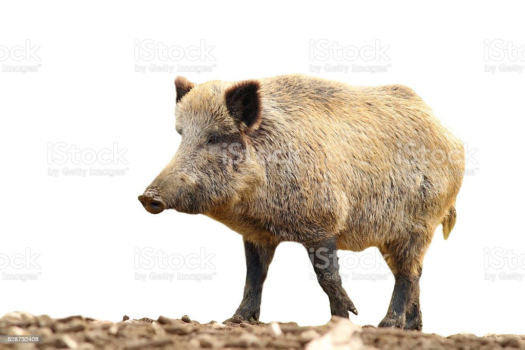 isolated huge wild boar stock photo