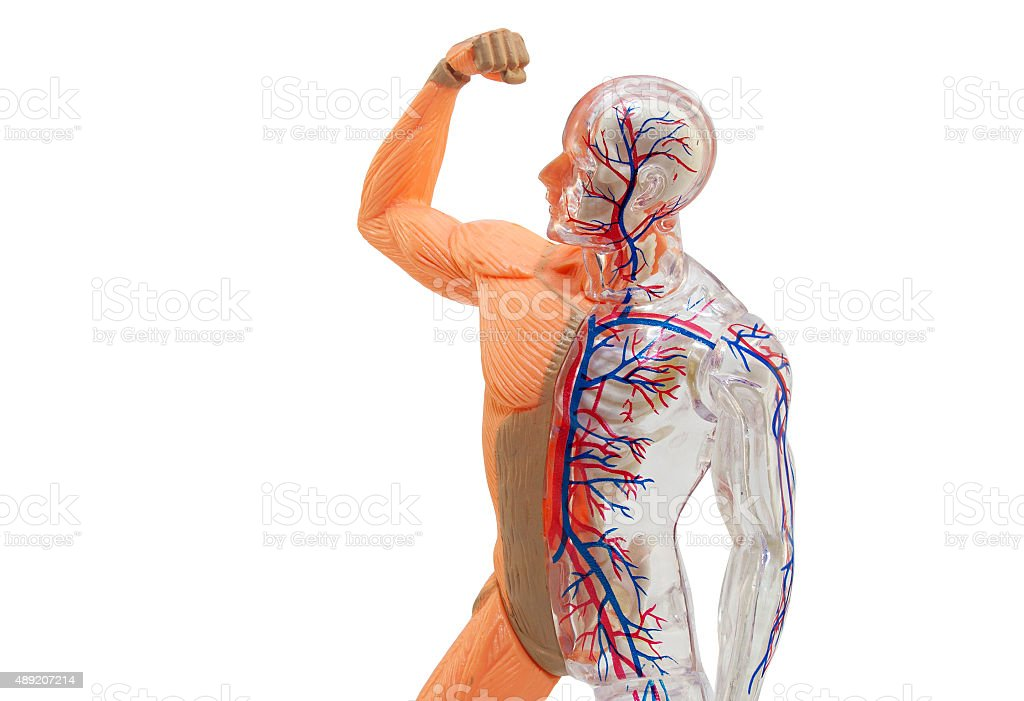 Isolated human anatomy model stock photo