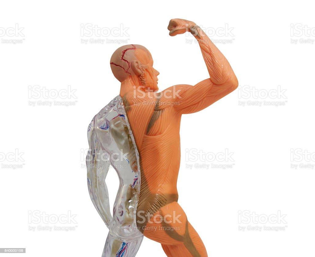 Anatomía del cuerpo humano aislado - foto de stock