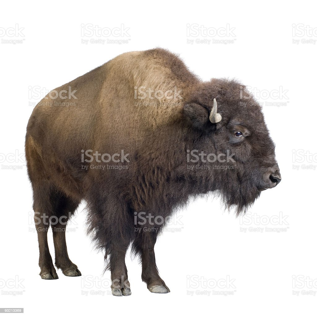 Isolated image of a bison on a white studio background stock photo