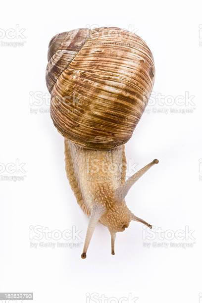 Isolated image of a garden snail on a white background picture id182832793?b=1&k=6&m=182832793&s=612x612&h=joyplexl fxoehg7pqwzuf012 pkzz0nl7uwcrdbsry=