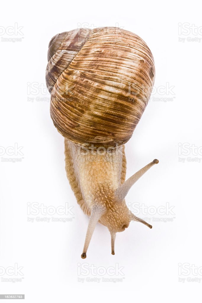 Isolated image of a garden snail on a white background stock photo