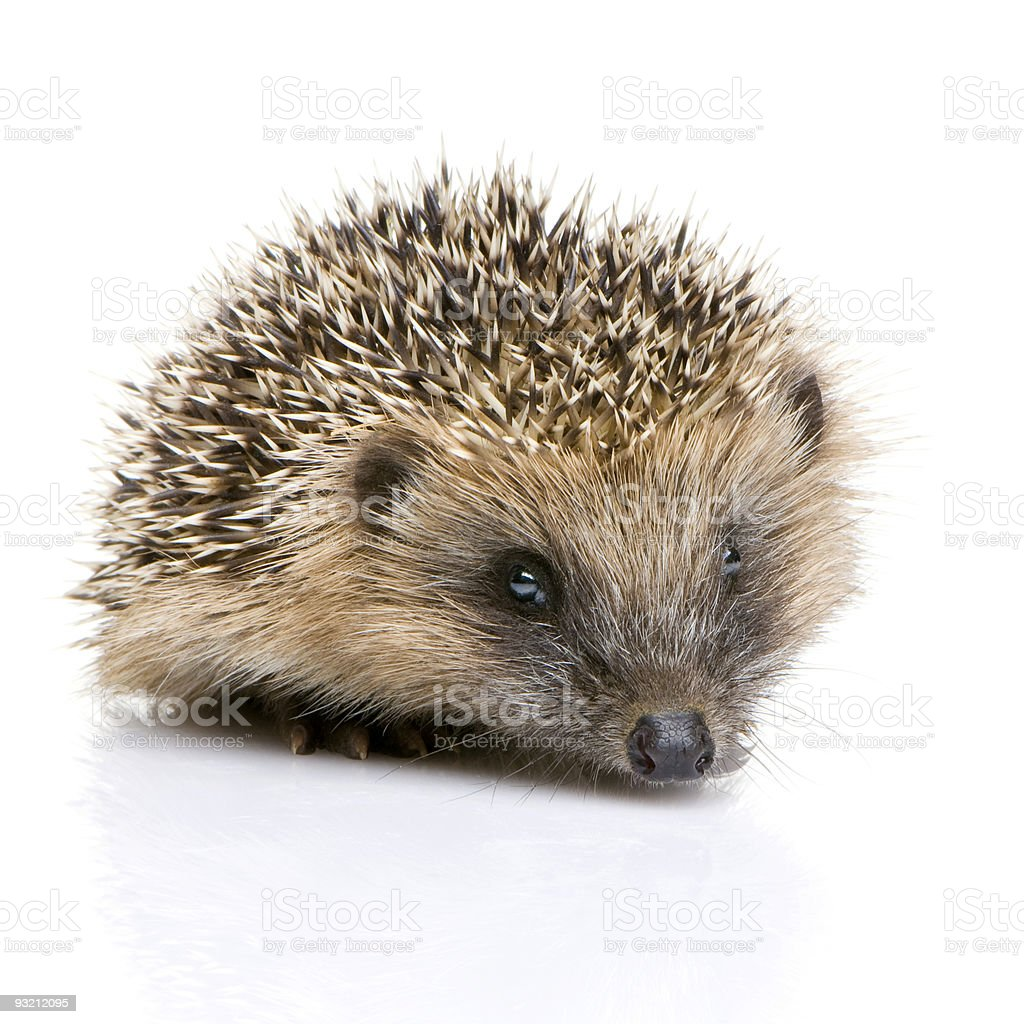 Isolated image of a hedgehog on white stock photo