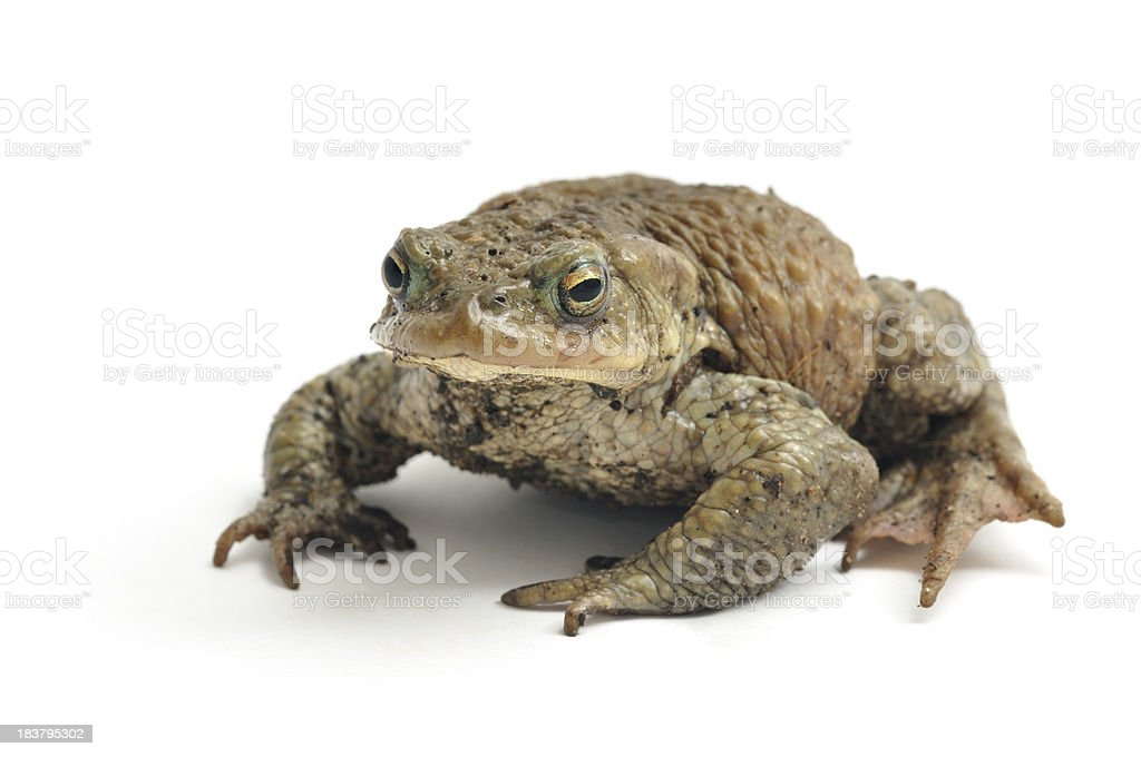 Isolated image of a toad on a white background Common Toad (Bufo bufo), isolated on white background. Amphibian Stock Photo