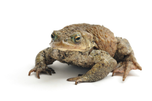 Isolated Image Of A Toad On A White Background Stock Photo - Download Image Now