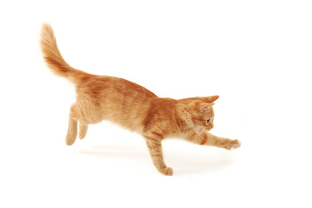 Isolated image of an orange and beige kitten jumping picture id119562379?b=1&k=6&m=119562379&s=612x612&w=0&h=lt0tznmwzgync8dcekhnkqbxclrdr62r om315gz0f8=