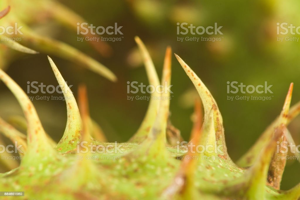 Isolated image of chestnut close up stock photo