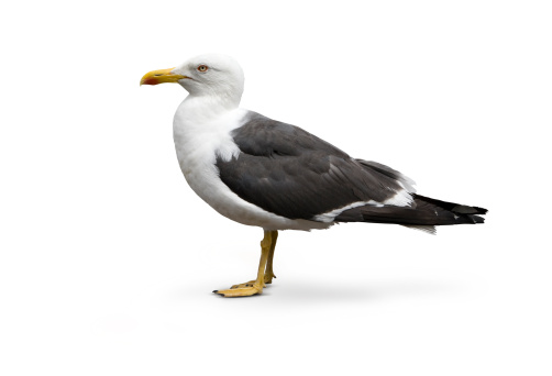 Mature Herring Gull isolated against white background. Sharp detail in the feat, beak, eye and feathers. Photographed on a Canon 5D with a 24-70mm L series lens.