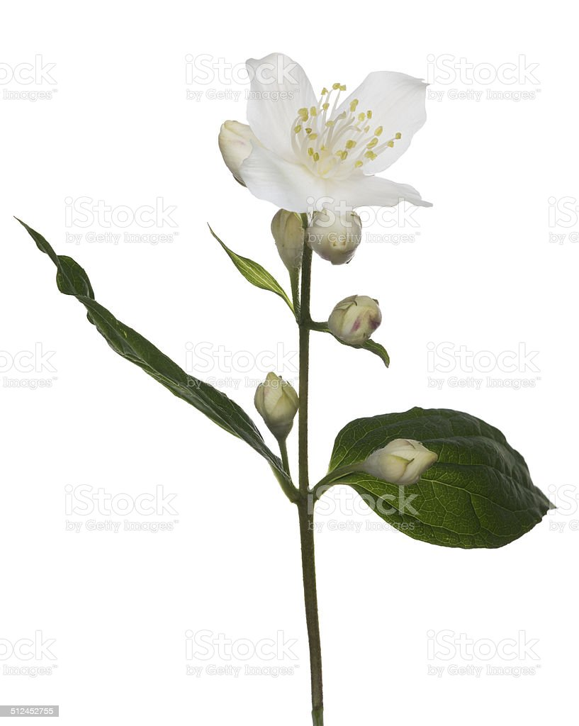 Isolated Jasmine Branch With Single Flower And Buds Stock Photo