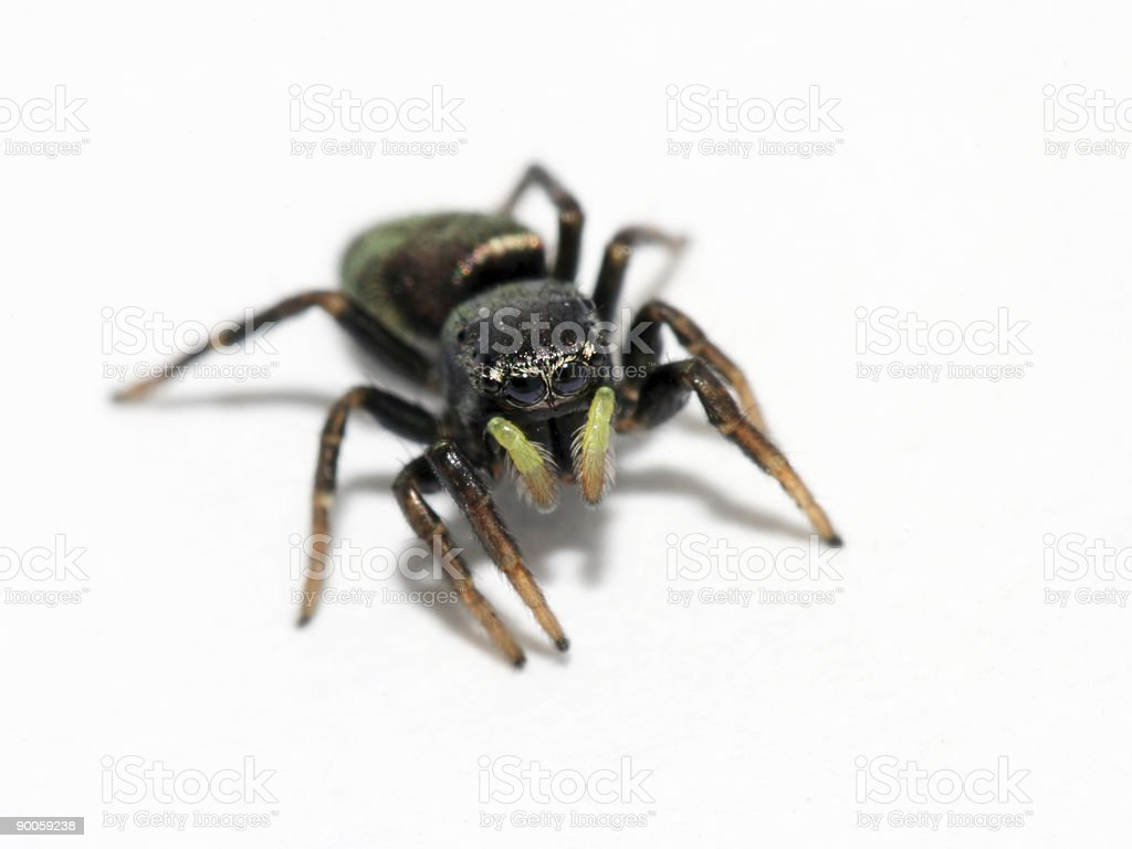 Isolated jumping spider royalty-free stock photo