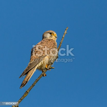 isolated kestrel (falco tinnunculus) sitting on top of branch in blue sky